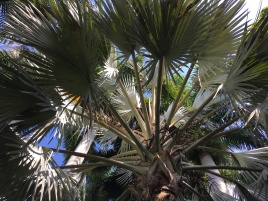 Bismark palm in the sun. These palms are native to Madagascar.