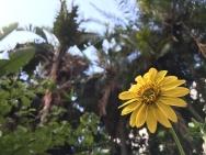 Sunflower in the jungle.