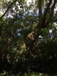 Towards the middle of this old tree is a staghorn fern that has to be 6 feet tall by 5 feet wide.