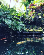 Koi ponds can be found throughout the gardens. Here koi bask beneath angels' trumpets.