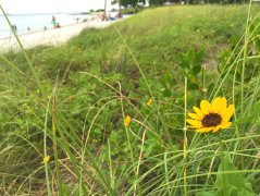 Yellow daisy on a beach on Vaca Key.