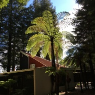 The black tree fern is native to New Zealand and loves a temperate climate.