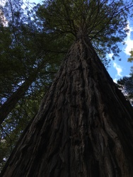 California redwoods were grown in the forest beginning in 1901 for lumber.