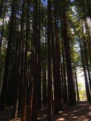 Slender trees ... Now where's Slender Man?