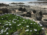 Daisies had escaped a garden and were making their way to the beach.