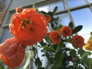 Abutilon orange in all its glory. I thought it looked a lot like a Chinese paper lantern.