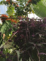 Purple passion vine or purple velvet plant. Its leaves are covered in fine purple hairs.