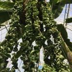 Hoya carnosa compacta looks a lot like tortellini.