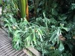 Staghorn fern, but on the ground!