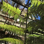 Silver ferns are the plant of New Zealand. The light is too bright in this picture to see, but the silver fern's underside is iridescent. Maori people used these ferns to light their trails during the full moon.