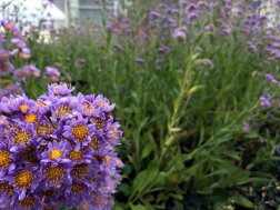 This cluster of asters was a happy pop of color on a gray, rainy day.
